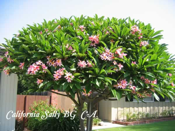 calif-sally-tree-jpg