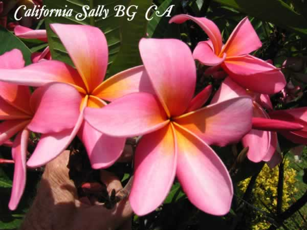 california-sally-bg-ca