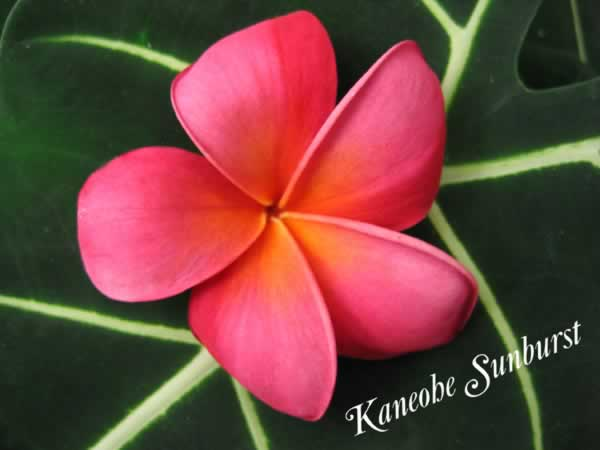 kaneohe-sunburst