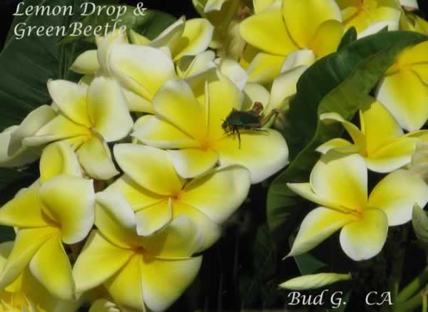 lemon-drop-beetle-jpg