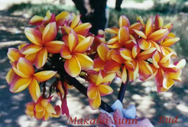 makaha-sunn-1