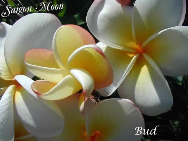 saigon-moon-3pdd