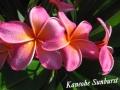 kaneohe-sunburst-1jpg